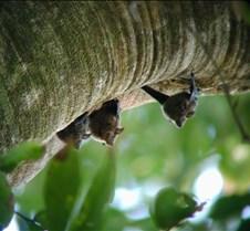 MA_bats