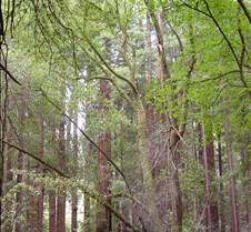 Muir Woods Study