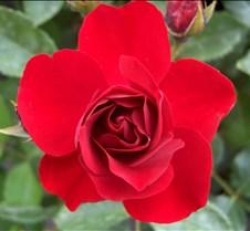 red_rosebud