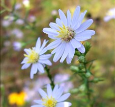 moreasters