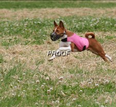 Basenjis_8July_BOB_Runoff__5428CR