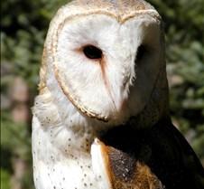 031504 Barn Owl Petrie 80