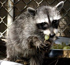 091802 Raccoon Juvenile 12