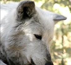 100902 Wolf Tsar 145
