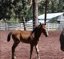 mounted shooters lipizon stallions jul 0