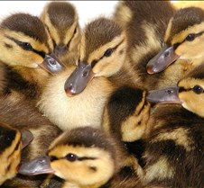 042304 ducklings 74