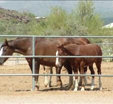 Tucson Lazy K Percheron foal