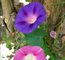 pinkandpurplemorningglories