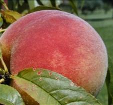Peach Up Close