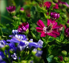 Blooming cineraria flowers Blooming cineraria flowers in spring season.