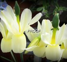 White Alpine Flowers