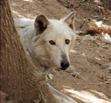 073102 Timber Wolf Tsar 16