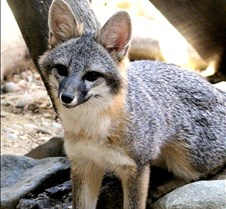 091102 Gray Fox Juvenile 84