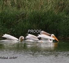 White pelicans jordy