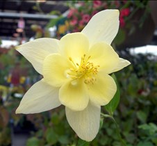 yellow_columbine