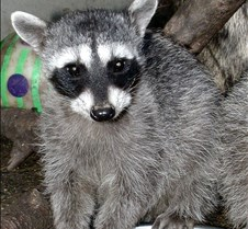 091802 Raccoon Juvenile 06
