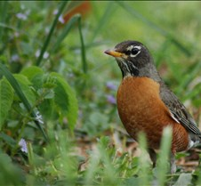Robin_spring_closeup