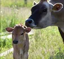 December 28, 2017 Farm Cows