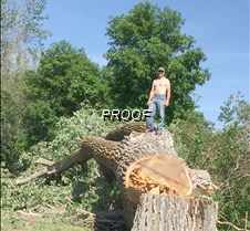 Giant tree comes down