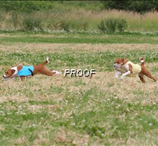 Basenjis_8July_BOB_Runoff__5426CR