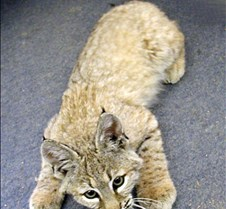 091102 Bobcat Kitten 60