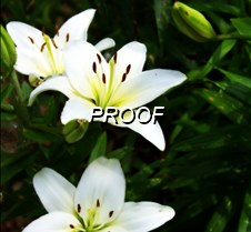 4328 Lilies