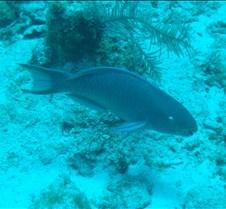 Parrottfish