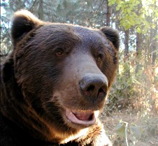 101602 Grizzly/Brown Bear Male 09