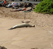 Monk seal at Lawai Beach