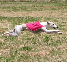 Whippets_8July_Run2_Course2_4951CR