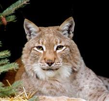 120404 Eurasian Lynx Nikki 57