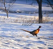 PCPR helps pheasants survive