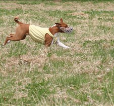 Basenjis_8Jul_Run2_Course1_5164CR2