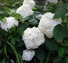 Huge White Flowers