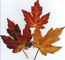 3mapleleaves