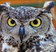 031504 Great Horned Owl 89