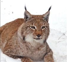 010204 Eurasian Lynx Nikki 101